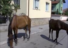 Безстопанствени коне по улиците на Ботевград